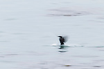 Brandt's Cormorant (Phalacrocorax penicillatus) landing on water, Santa Cruz, Monterey Bay, California
