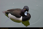 Ring-necked Duck, Male, Drake, Descanso Gardens, Southern California