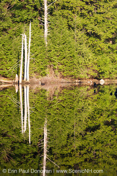 Reflection of decaying trees in a swamp located in New Hampshire USA