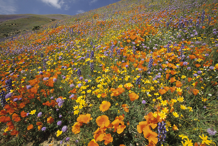 Poppies and lupine fields.