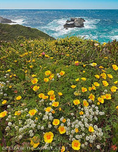 Big Sur Poppies