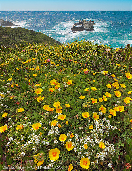 Big Sur Poppies
