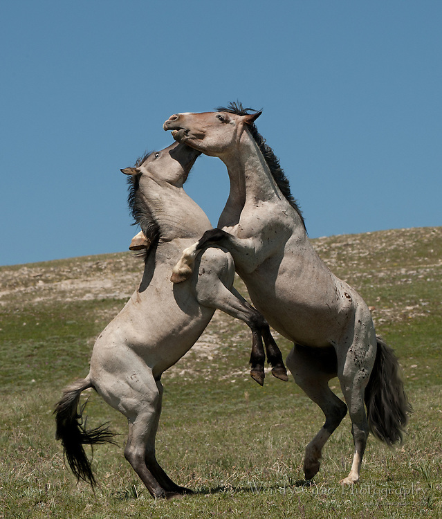 2 wild grulla Bachelors of the Pryor Mountain herd in mock battle.