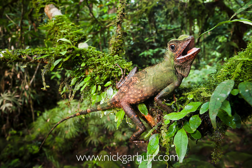 Male Short-crested Forest Dragon (Gonocephalus liogaster) in breeding colours. Aggressive posture. Understorey of lowland rainforest adjacent to a small stream. Maliau Basin - Sabah's 'Lost World' - Borneo.