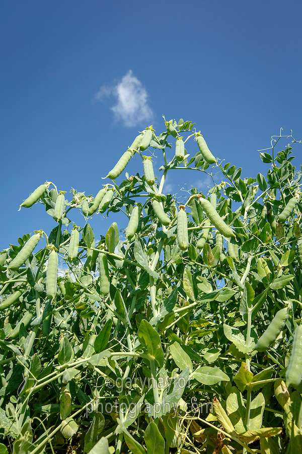 Peas in pod ready for harvest - Lincolnshire; July