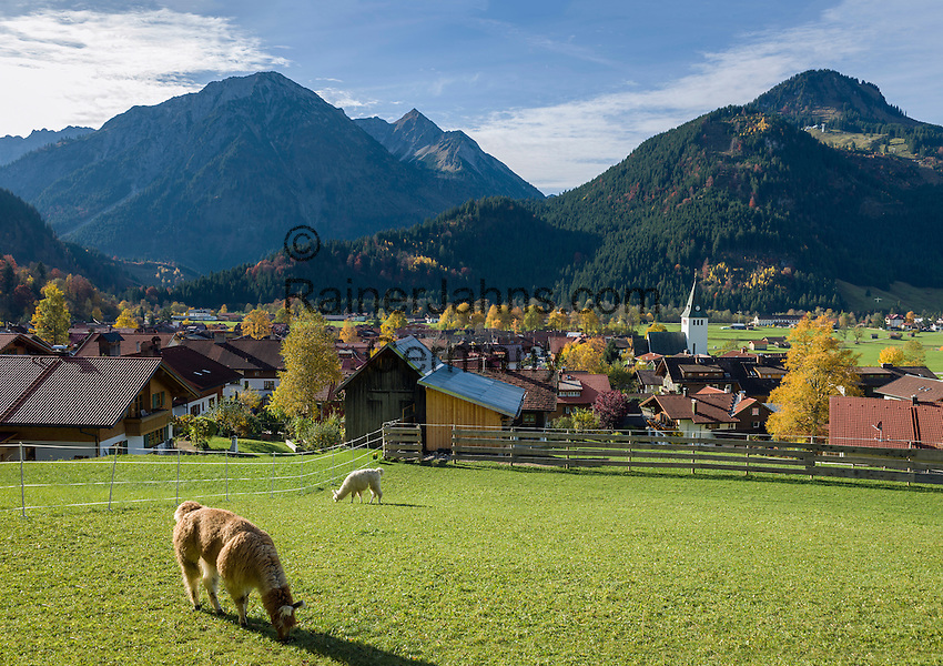 Germany, Bavaria, Swabia, Upper Allgaeu, resort Bad Hindelang, district Bad Oberdorf: with Breitenberg mountain (1.887 m) and Imberger Horn (1.656 m), two Alpacas (Vicugna pacos) grazing | Deutschland, Bayern, Schwaben, Oberallgaeu, Bad Hindelang, Ortsteil Bad Oberdorf: vorm Breitenberg (1.887 m) und Imberger Horn (1.656 m), auf der Wiese weiden Alpakas (Vicugna pacos)
