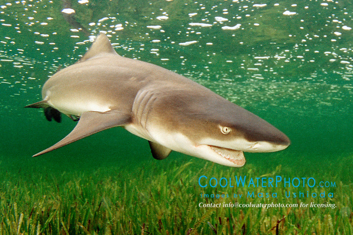 lemon shark, .Negaprion brevirostris, .Little Card Sound, Biscayne Bay, .Key Largo, Florida (Atlantic).