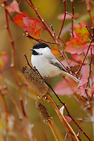 Black-capped Chickadee, Poecile atricapilla, adult eating flower seeds, Grand Teton NP,Wyoming, September 2005