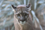 Cougar in Palm Desert, CA.  Captive