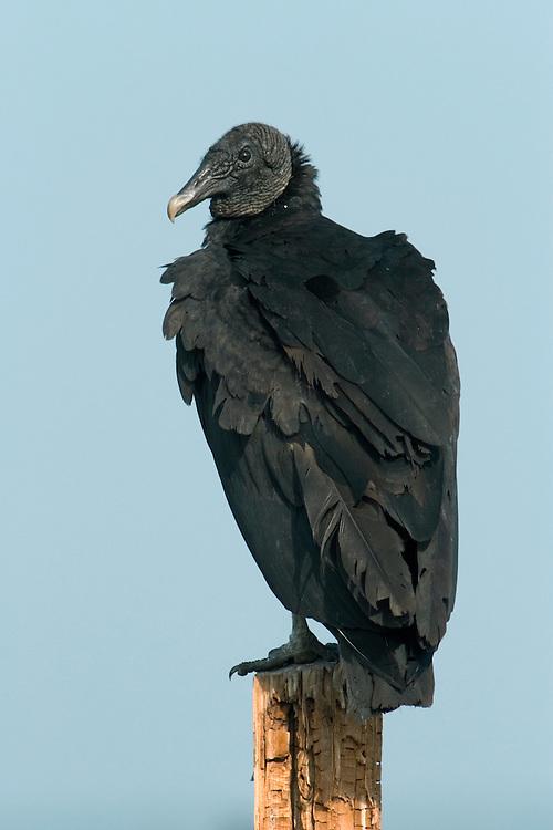 American Black Vulture - Coragyps atratus