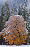 Yosemite National Park, California<br /> Black oaks (Quercus kelloggii) of El Capitan Meadow with lingering fall color and a dusting of snow, Yosemite Valley