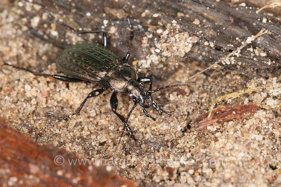 Körniger Laufkäfer, Gekörnter Laufkäfer, Gemeiner Feldlaufkäfer, Carabus granulatus, field ground beetle