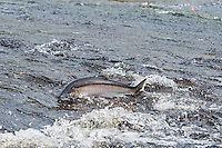 Wild Coho or Silver Salmon (Oncorhynchus kisutch) on fall spawning migration, swimming up shallow river.  Pacific Northwest.  October.  Wild fish not hatchery fish.  Silvery color means it is fresh out of saltwater--only been in fresh water a day or two.