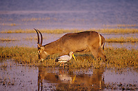 Waterbuck (kobus ellipsiprymnus) and yellow-billed stork (Mycteria ibis) along edge of Lake Kariba, Matusadona National Park, Zimbabwe.