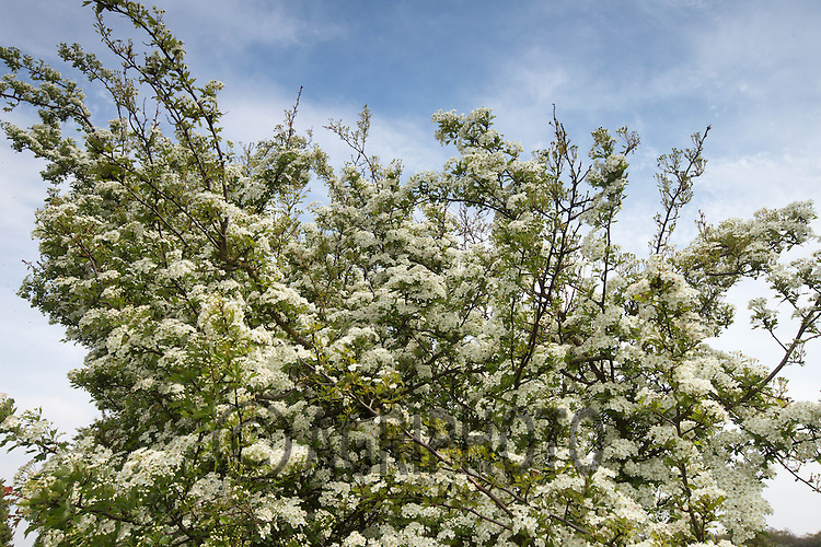Hawthorn in flower<br /> Picture Tim Scrivener 07850 303986