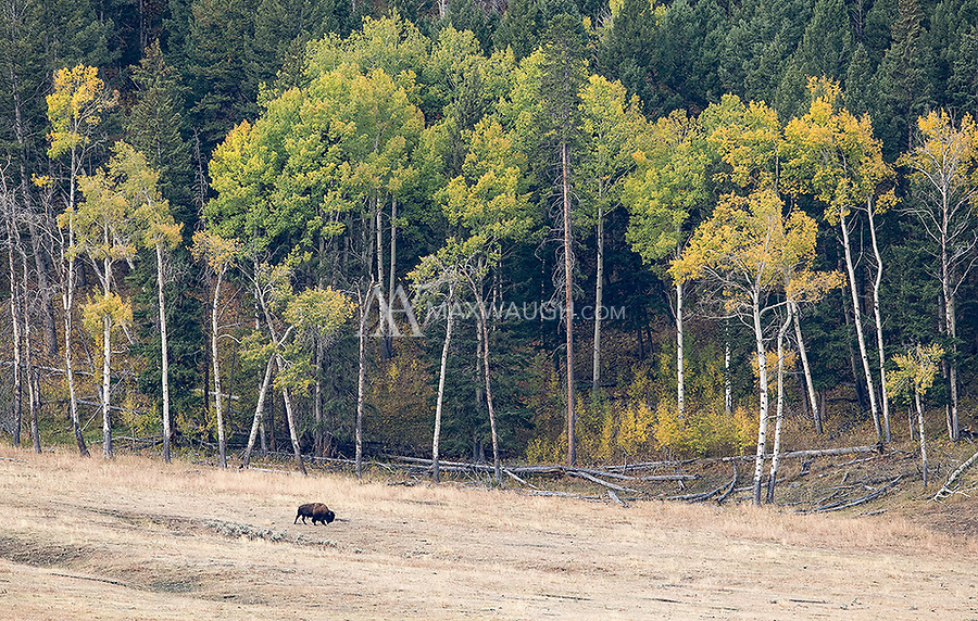 The colors were starting to turn in Yellowstone during our visit. Bison always make for a nice subject to pair with autumn colors.