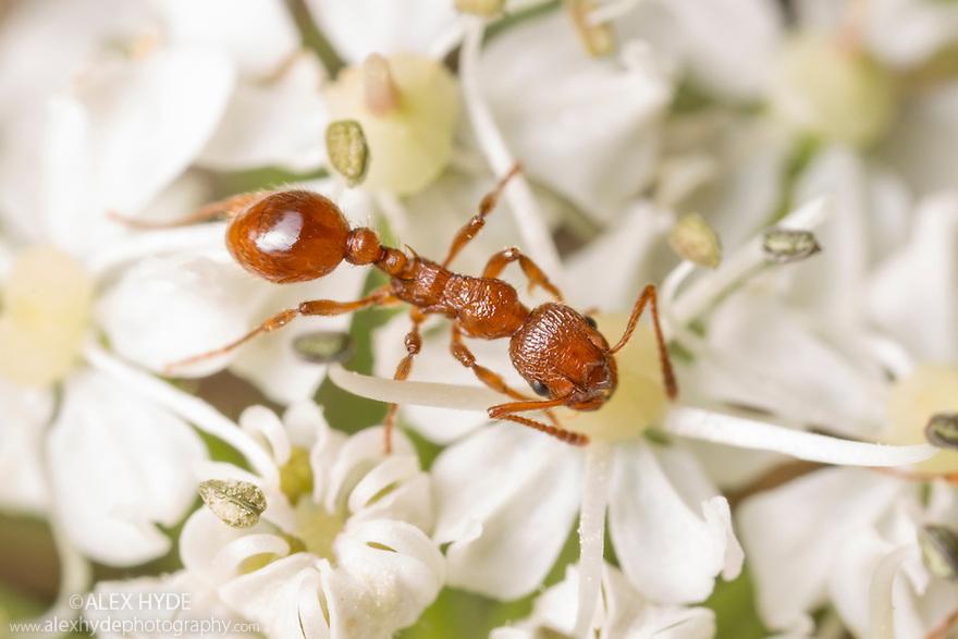 Red Ant (Myrmica rubra) feeding on umbellifer flower. Peak District National Park, Derbyshire, UK. June.