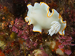 Yi Xian Tian, Green Island -- The nudibranch Ardeadoris egretta crawling on a sea wall.