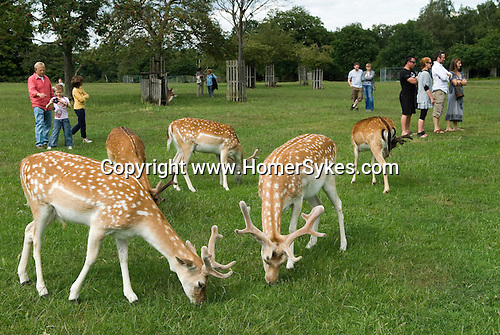 Richmond Park Surrey. Young deer feeding with Londoners tourists watching.  Deer still so young as to not to worry about humans.