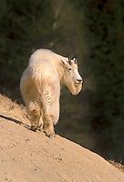 Mt. Goat in Jasper NP, Canada