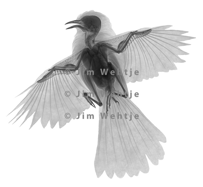 X-ray image of a spread gray catbird (black on white) by Jim Wehtje, specialist in x-ray art and design images.