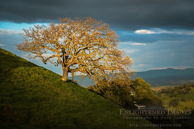 Sunlight on an oak tress after a storm, Briones Regional Park, Contra Costa County, California