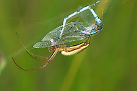 Tetragnatha extensa<br /> with damselfly prey