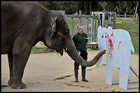 Karishma the Elephant artist picks up a paintbrush for Elephant Appreciation Weekend at Whipsnade zoo, Bedfordshire, Wednesday September 19, 2012, The weekend is to raise vital funds for the Zoo's worldwide elephant conservation and research projects. Andrew Parsons/i-images/ DyD Fotografos
