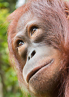 BorneoMale Orangutan Portrait