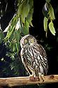Barking Owl (Ninox connivens). Southeastern Australia.