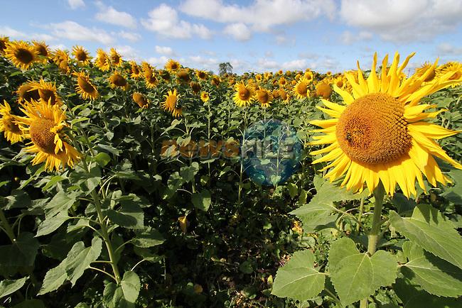 Field of Sunflowers on the Duleek to Julianstown Road, Co.Meath...Picture Jenny Matthews/Newsfile.ie