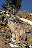 657146038 canadian lynx felis lynx perched on a lichen covered rock face in central montana captive