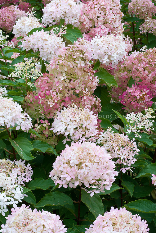 hydrangea paniculata phantom plant flower stock photography. Black Bedroom Furniture Sets. Home Design Ideas
