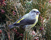 Adult female red crossbill