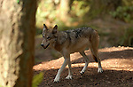 Wolf Juveniles Gray wolf Mount Ranier Washington