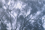 Bluegum eucalyptus silhouetted in fog, California
