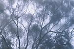 Bluegum eucalyptus silhouetted in fog, California
