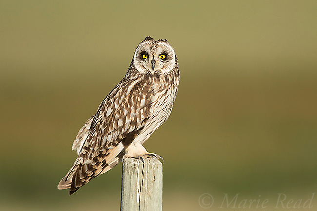 Short-eared Owl (Asio flammeus), adult male perched on fencepost, northern Utah, USA
