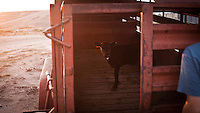 A calf in a trailer at a feedyard in Mead, Kansas. A feedyard is part of the factory farming process where animals are fattened up prior to slaughter. They are mostly fed on corn or corn dervived products gaining between 2.5 and 4.5 pounds per day. 25% of all American beef is produced in Kansas..