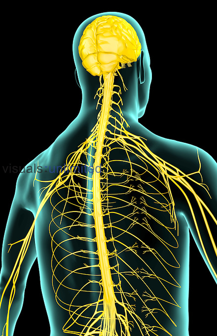 A posterolateral view (right side) of the nerve supply of the upper body. The surface anatomy of the body is semi-transparent and tinted green. Royalty Free