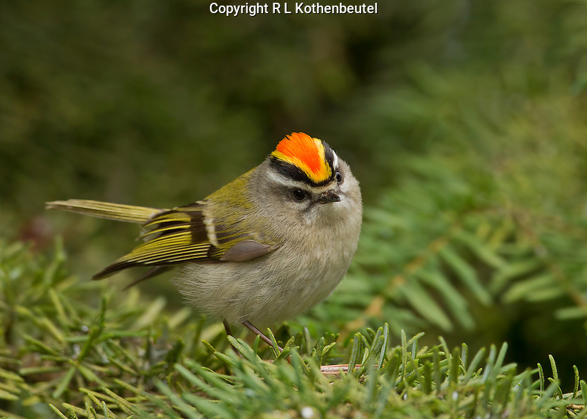 Golden-crowned kinglet (Regulus satrapa) Adult male on hemlock bough with frontal view of his brightly-colored crest (crown).<br /> Woodinville, King County, Washington State<br /> 3/27/2012