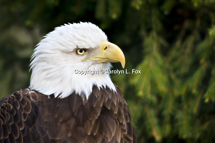 An American Bald Eagle sits in a tree.
