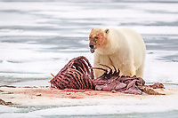 polar bear, Ursus maritimus, feeding on Atlantic walrus, Odobenus rosmarus rosmarus, on ice, Spitsbergen, Svalbard, Norway, Arctic Ocean