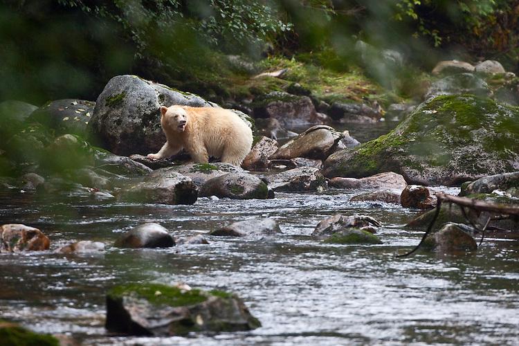"Kermode ""Spirit"" Bear watching up river"