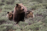 This mother (sow) grizzly(Ursus arctos horribilis) is leading her two yearling cubs through the sagebrush looking for elk calves. There are a number of humans nearby and the cubs are a bit nervous so they are staying close. Without that concern, the cubs would likely be spread out further investigating on their own while still keeping a close eye on mom. Swan Lake Flats, Yellowstone.