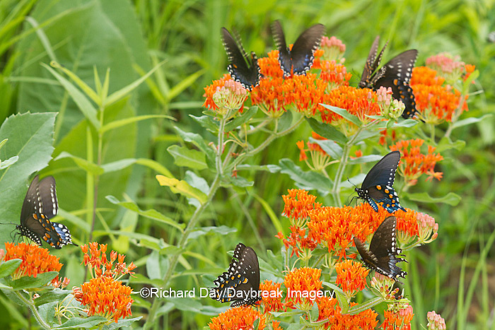 03004-01401 Pipevine Swallowtails (Battus philenor) on Butterfly Milkweed (Asclepias tuberosa) Reynolds Co., MO