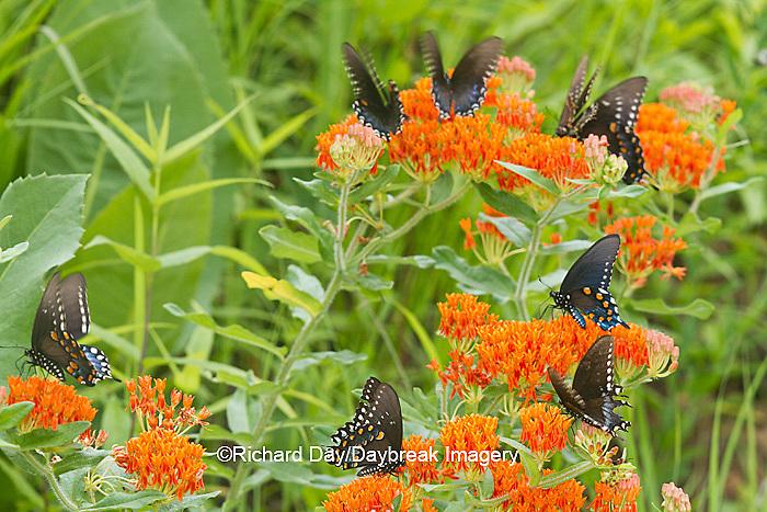 03004-01401 Pipevine Swallowtails (Battus philenor) on Butterfly Milkweed (Asclepias tuberosa) Reynolds Co., MO