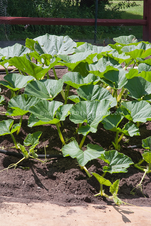 Pumpkins growing in patch in garden, with fence behind, showing plant habit and foliage