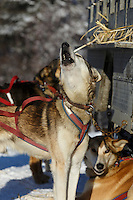Dog howling at the 2015 Junior Iditarod start Denali Highway winter<br /> <br /> <br /> <br /> (C) Jeff Schultz/SchultzPhoto.com - ALL RIGHTS RESERVED<br />  DUPLICATION  PROHIBITED  WITHOUT  PERMISSION