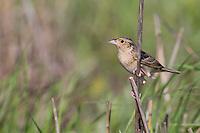 Grasshopper Sparrow (Ammodramus savannarum pratensis), Eastern subspecies perched on a grass stalk in a New Jersey grassland.